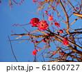 赤い花が咲いた枝と晴れた空の写真素材 61600727