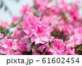 花 Flower はな 花卉 杜鵑花 Rhododendron 61602454