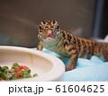 給餌、トカゲの赤ちゃんの飼育(爬虫類・正面顏・ゴールデンテグー・大型種) 61604625