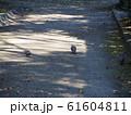 砂利の道端を歩くキジバトさん達 61604811