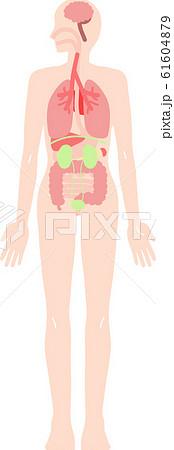 人体 内臓の全身イラストセット 61604879
