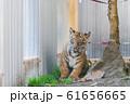スマトラトラの赤ちゃん 仙台市太白区 61656665