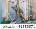 スマトラトラの赤ちゃん 仙台市太白区 61656671