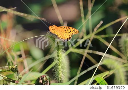 昆虫 61659390
