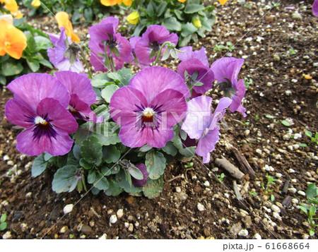 ビオラの紫色の花 61668664
