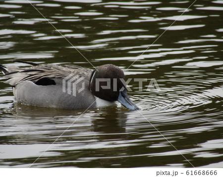 稲毛海岸の池に来た冬の渡り鳥オナガガモ 61668666