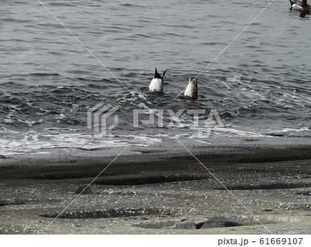 採餌中の検見川浜のヒドリガモ 61669107