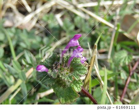 春の初めに咲き始める紫の小さい花はホトケノザ 61669111