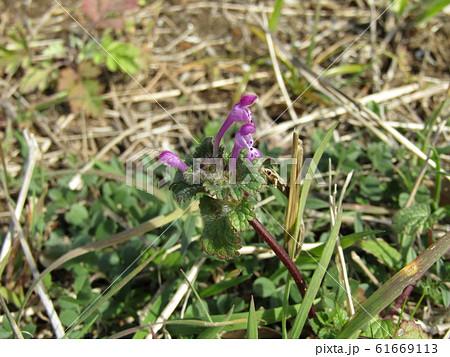 春の初めに咲き始める紫の小さい花はホトケノザ 61669113