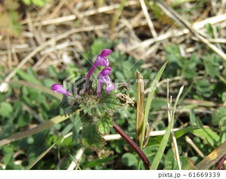 春の初めに咲き始める紫の小さい花はホトケノザ 61669339