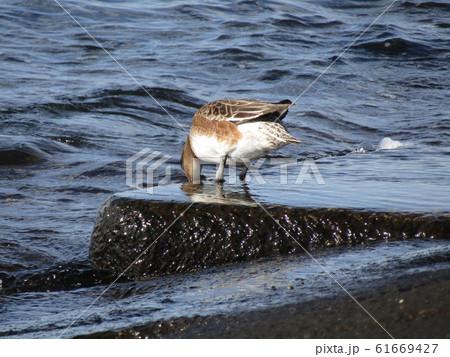 検見川浜に来たヒドリガモ 61669427