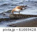 検見川浜に来たヒドリガモ 61669428