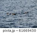 検見川浜に来たヒドリガモ 61669430