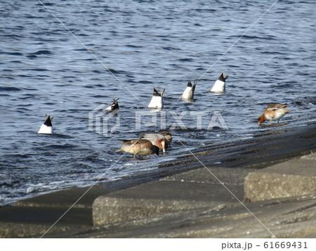 採餌中の検見川浜のヒドリガモ 61669431