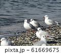 検見川浜のイソハマで一休みのユリカモメ 61669675