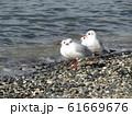 検見川浜のイソハマで一休みのユリカモメ 61669676