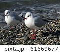 検見川浜のイソハマで一休みのユリカモメ 61669677