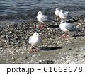 検見川浜のイソハマで一休みのユリカモメ 61669678