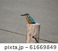 青いきれいな鳥はカワセミ 61669849