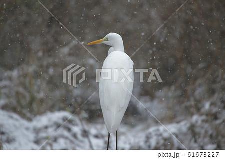 雪の美人 ダイサギ 61673227