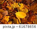 Fallen leaves 61678656