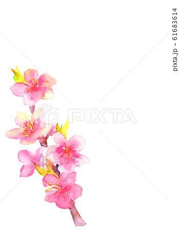 桃 花 桃の花 桃の節句 イラスト 水彩  61683614