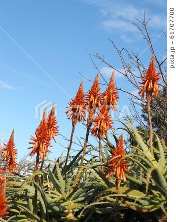 赤い花を咲かせたキダチアロエ 61707700