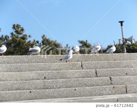 検見川浜の階段で休憩中のユリカモメ 61712682