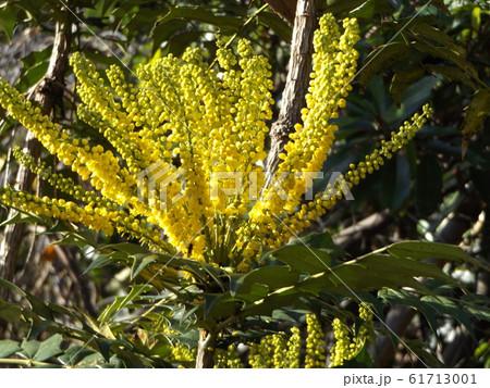 細葉ヒイラギナンテンとも言うマホニアの黄色い花 61713001