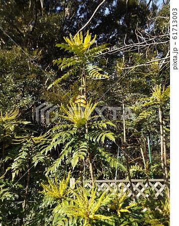 細葉ヒイラギナンテンとも言うマホニアの黄色い花 61713003