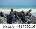 ウミイグアナ 61729216