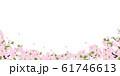 ソメイヨシノ 61746613
