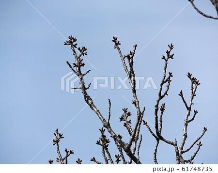 今年も楽しみな大島桜の冬芽 61748735