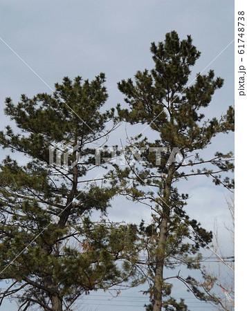 常緑樹の松は冬でも青々青 61748738