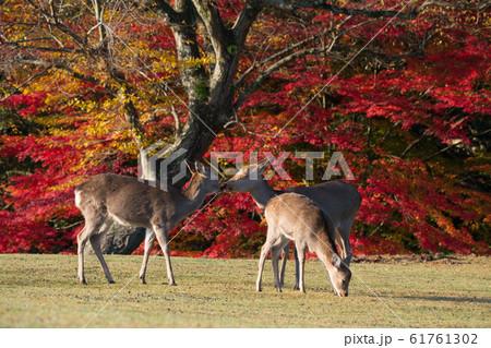 奈良公園 鹿 61761302
