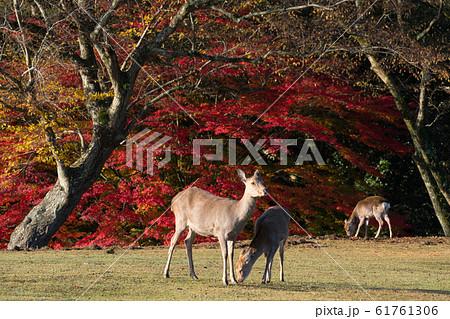 奈良公園 鹿 61761306