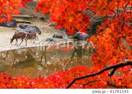 奈良公園 鹿 61761343