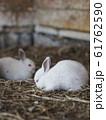 白いウサギ 全身 横向き 61762590