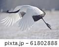 タンチョウの飛び立ち(北海道・鶴居) 61802888