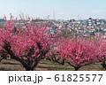 満開の桃の花と住宅地 61825577