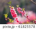 満開の桃の枝先 61825578