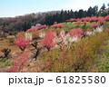 桃の花が咲く丘 61825580