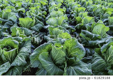 (静岡県)箱根西麓の野菜畑 ハクサイ 61829188