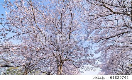 見沼田んぼの春 日本一の桜回廊 大宮第二公園  61829745