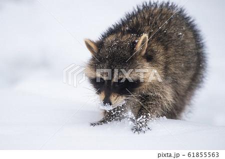 雪の中のアライグマ 61855563