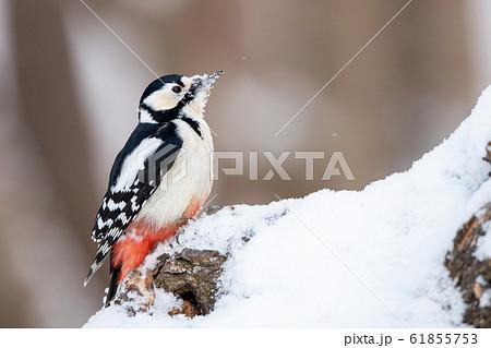 冬のアカゲラ 61855753