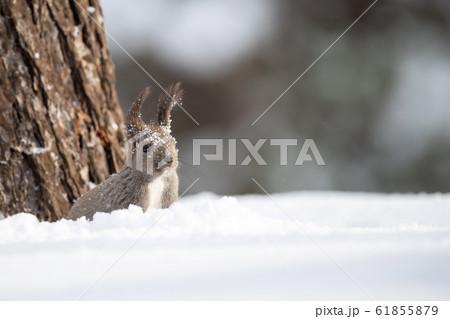 冬のエゾリス 61855879