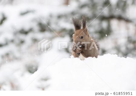 冬のエゾリス 61855951