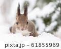 冬のエゾリス 61855969