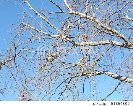 千葉公園のモミジバフウの冬の姿 61864306
